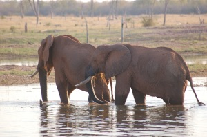 elephants at Kariba